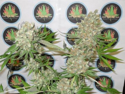 1st Prize Cannabis Competition Winner is Bubblegummy Strain by Just Feminized